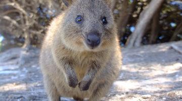 Grinsende Quokkas auf Rottnest Island bei Perth