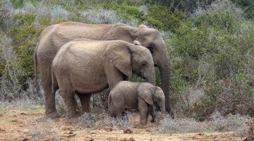 Tierisch genial, der Addo Elefanten Nationalpark