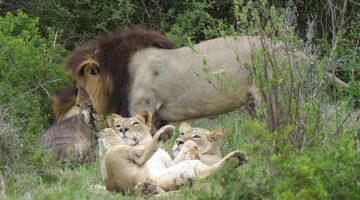 Hautnah dabei – ein Löwenrudel auf Büffeljagd im Addo Elefanten Nationalpark