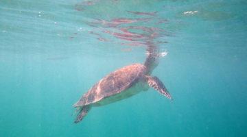 Schwimmen mit Meeresschildkröten in Akumal