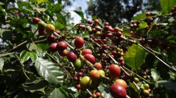 Kaffee-Tour durch Antigua (inkl. Plantagen Besuch bei Azotea)