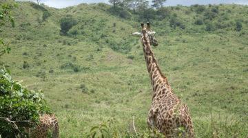 Selbstfahrer Safari im Arusha Nationalpark (inkl. Walking Safari!)