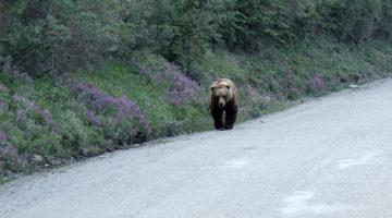 Alaska im Sommer – unser Trip zum Denali Nationalpark
