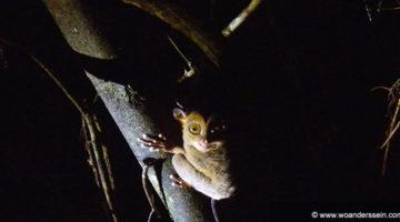 Nachts im Dschungel von Kinabatangan auf Borneo