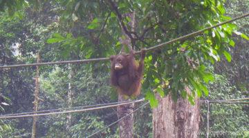Besuch im Sepilok Orang Utan Sanctuary auf Borneo