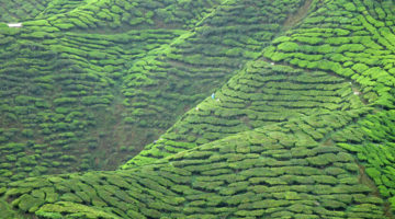 Tea Time in den Cameron Highlands